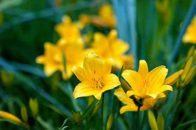 美しい黄色の花がぼやけて背景