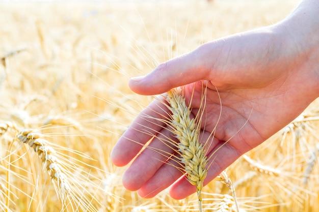 女性の手で小麦の耳。日没または日の出のフィールド。収穫のコンセプト。