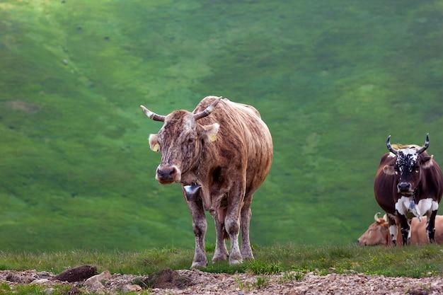 山の牧草地に茶色の牛