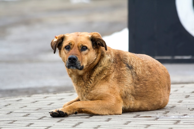 所有者を期待して悲しい黄色い犬。地面にペットの肖像画。
