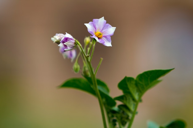 ぼやけた霧の柔らかい背景に圃場の高い茎に咲く朝の太陽に照らされたジャガイモのクローズアップ分離明るい紫の花。農業と農業の概念。