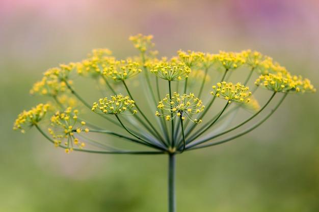 Конец-вверх изолировал душистый зонтик укропа освещенный солнцем утра зацветая на высоком стержне на запачканной туманной мягкой красочной предпосылке. концепция сельского хозяйства, кулинарии и сельского хозяйства.