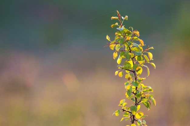 夏の太陽に照らされたのクローズアップは、ソフトぼやけたカラフルなコピースペース背景に緑の葉にクモの糸で果物梨またはリンゴの木のブランチを分離しました。農業、農業、豊かな収穫のコンセプト。