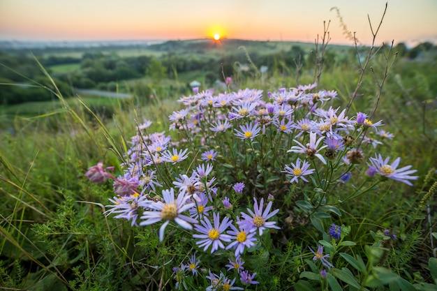地平線の太陽に輝く明るい黄色の黄金色に照らされた高い茎に咲く白い青い野生のヒナギク。