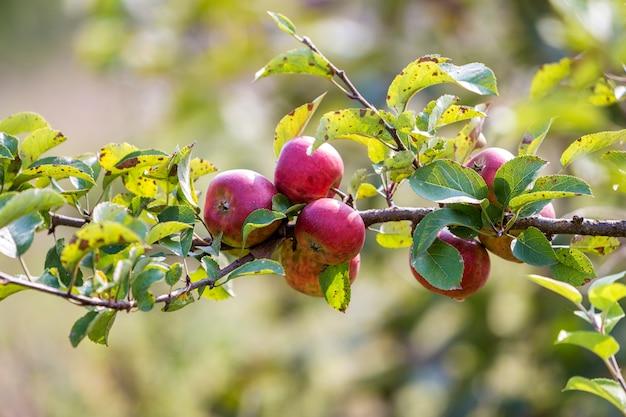 Большие славные яблоки зрея на яблоне в солнечном саде сада на запачканном зеленом цвете.