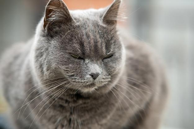Портрет крупного плана серьезного серого пушистого кота.