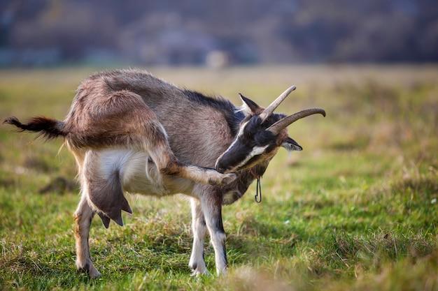 ぼやけた緑の芝生のフィールドで明るい日当たりの良い暖かい夏の日に長い角とひげと素敵な白い茶色の毛深いひげを生やしたヤギ。家畜農業のコンセプト。