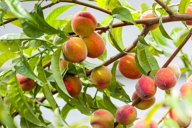 Спелые красные и желтые персики на ветке