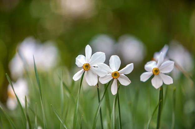 ぼやけた自然に緑の植生と夏の公園で成長している白い水仙の花