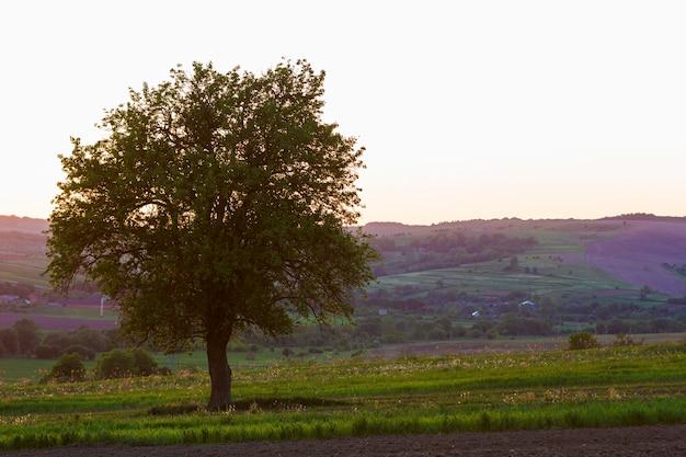 春の野原で一人で成長している夕暮れ時の美しい大きな緑の木の静かで平和な景色