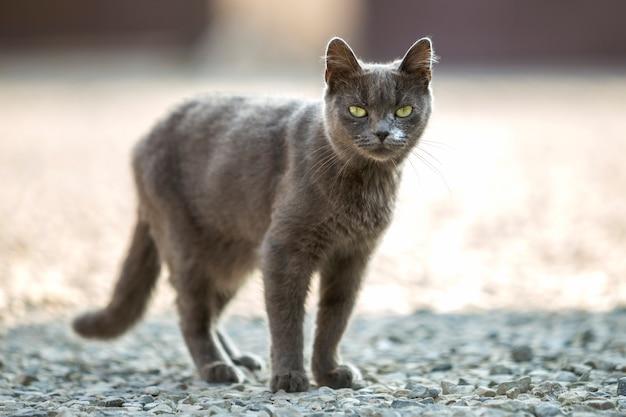 Портрет взрослого серого взрослого большого короткошерстного кота с зелеными глазами, стоящего на улице на мелкой гальке и смотрящего прямо в камеру на размытом светлом солнечном пространстве