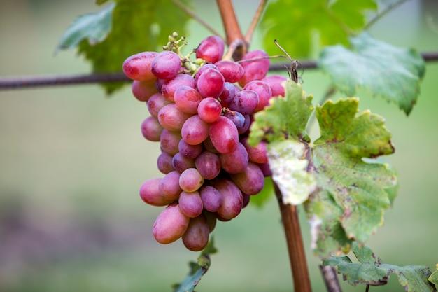 Конец-вверх молодого завода лозы с зелеными листьями и яркой розовой зрелой гроздью винограда освещенной солнцем на запачканной солнечной мягкой красочной предпосылке космоса экземпляра. концепция сельского хозяйства, садоводства и виноделия.