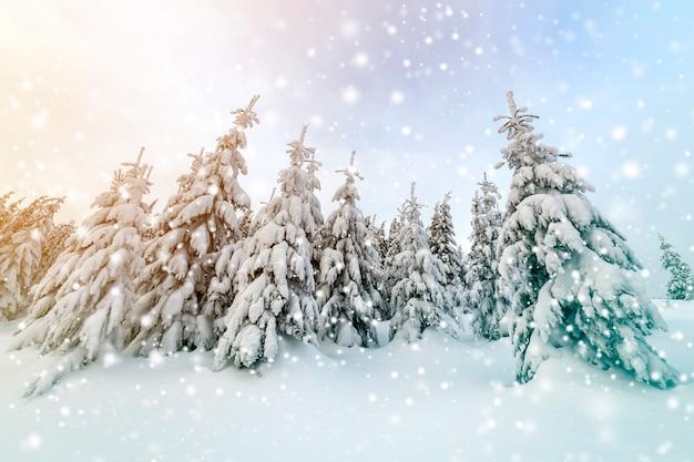 美しい冬の山の風景。冬の森と曇り空の雪に覆われた背の高いトウヒの木。