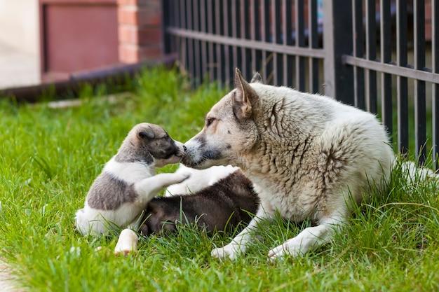 赤ちゃん子犬、かわいい子犬、犬、犬-前面に焦点を当てる-背景をぼかした写真と母犬。