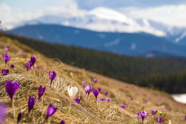 急な丘の上で成長している素晴らしい咲く驚くべき最初の明るい紫と白のクロッカスの美しい景色。遠くに壮大な山と森。生態学の問題と自然概念の美しさ。