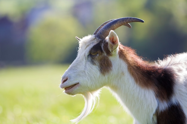 白と茶色のむらがある国内毛むくじゃらのヤギのクローズアップの肖像画。長く急な角、黄色の目、ぼやけた黄色と青のボケの背景に白ひげ。有用な動物の概念の養殖。