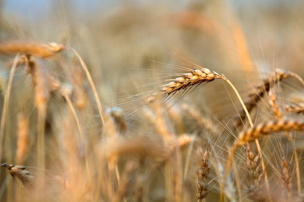Конец-вверх теплых покрашенных золотых желтых зрелых сфокусированных голов пшеницы на солнечный летний день.