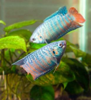 Две аквариумные рыбки, плавающие вокруг друг друга