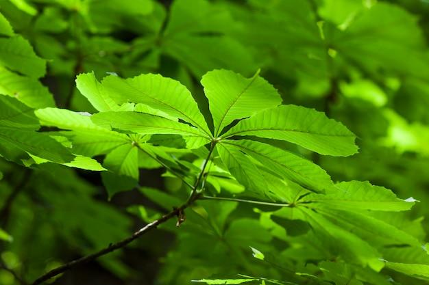 Свежий зеленый лист каштана размытым фоном неглубокая глубина поля эффекта