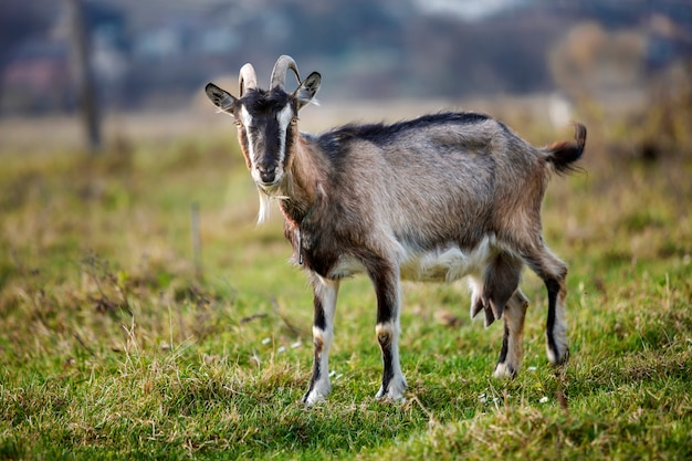 長い角とぼやけた緑の芝生のフィールドの背景に明るい日当たりの良い暖かい夏の日にひげと素敵な白い茶色毛深いひげを生やしたヤギ。家畜飼育のコンセプトです。