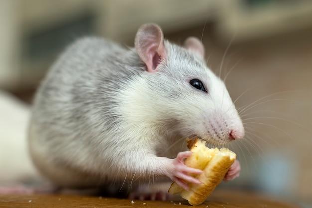 パンを食べる白ネズミ。自宅のペット動物。