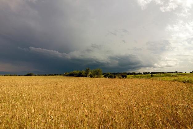 黄色の麦畑と嵐の雨の雲