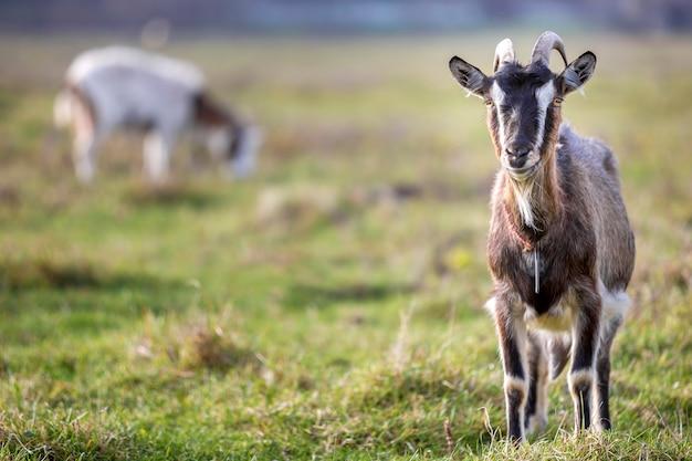 ぼやけた緑の芝生のフィールドで明るい日当たりの良い暖かい夏の日に長い角とひげを持つ素敵な白い茶色の毛深いひげを生やしたヤギ。家畜飼育のコンセプトです。