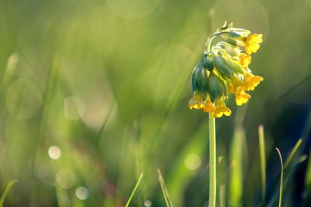 クローズアップ分離された柔らかい美しい野生の黄色い花は、ぼやけた霧の柔らかい緑のボケ味のフィールドまたは庭の高い茎に咲く朝の太陽に照らされました。自然概念の美しさと調和。