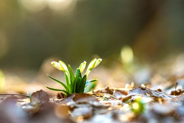 森の乾燥した葉の間で成長している小さな新鮮な花のクローズアップ表示