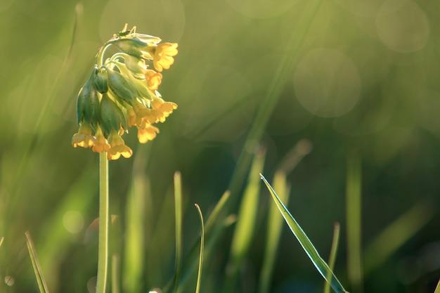 クローズアップ分離された柔らかい美しい野生の黄色い花は、フィールドまたは庭のぼやけた霧の柔らかい緑のボケの高い茎に咲く朝の太陽に照らされました。自然概念の美しさと調和。
