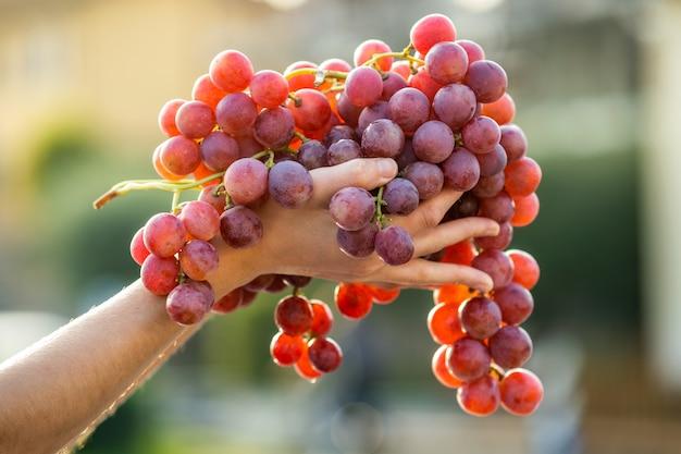 赤いジューシーなブドウの大きな房を手に持った女性。