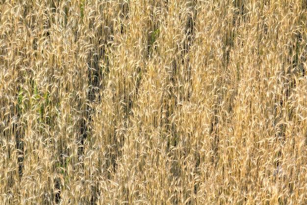 孤立したのクローズアップの平面図は、夏の太陽に照らされて成長している乾燥した枯れた長い黄金黄色茶色の野生、フィールドまたは芝生の草の背景に成長しています。農業、農業、抽象的なデザインコンセプト。