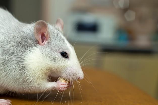 パンを食べる白ネズミ