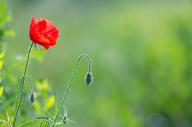 赤いケシの花のクローズアップ。