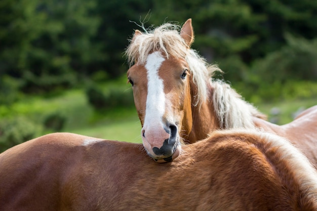 白のストライプと長いたてがみを持つ栗の馬