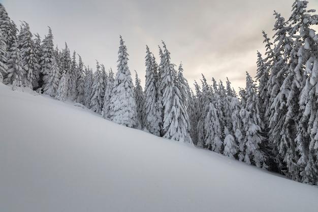 冬の森の背の高いトウヒの木は雪で覆われています。