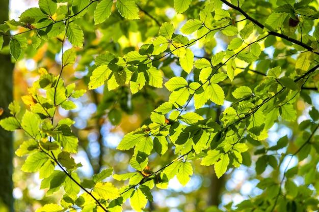 秋の公園で木の枝に明るく鮮やかな黄色の葉のクローズアップ。秋の森の紅葉の詳細。