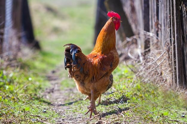 Крупный план большой красивый красный сытый петух гордо охраняет стадо кур кормления в зеленой траве в яркий солнечный день на размытом фоне
