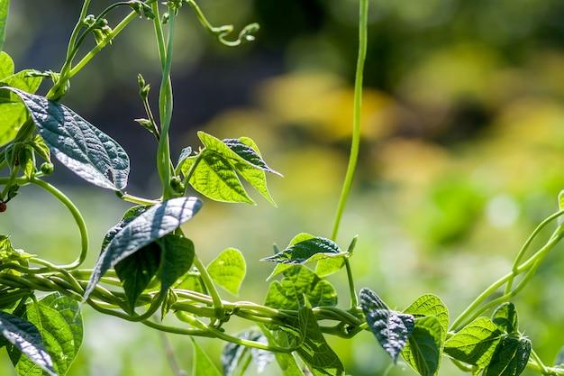 Зеленое растение листья в летнем солнечном свете крупным планом