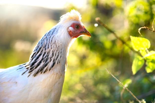 Куры питаются традиционным сельским скотным двором. деталь куриной головы. закройте вверх цыпленка стоя на дворе амбара с курятником. цыплята сидят в курятнике. концепция птицеводства свободного выгула.