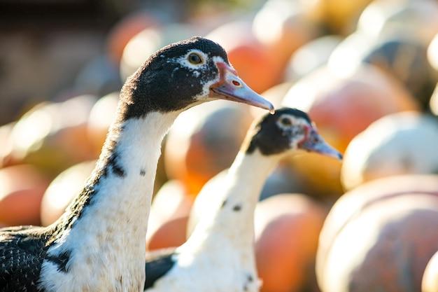 アヒルは伝統的な農村の納屋を食べます。アヒルの頭の詳細。納屋の庭に立っている水鳥のクローズアップ。放し飼い養鶏のコンセプトです。