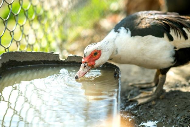 アヒルは伝統的な農村の納屋を食べます。納屋の庭に水鳥飲料水の詳細。放し飼い養鶏のコンセプトです。