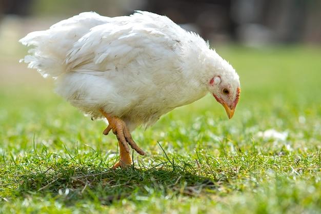 Курица питается традиционным сельским скотным двором. закройте вверх цыпленка стоя на дворе амбара с зеленой травой. концепция птицеводства свободного выгула.