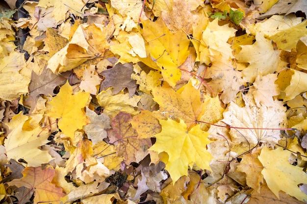 Закройте вверх много упаденных желтых листьев покрывая землю в парке осени.