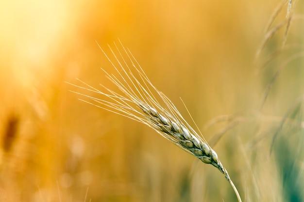 黄色の熟した小麦の頭のクローズアップ