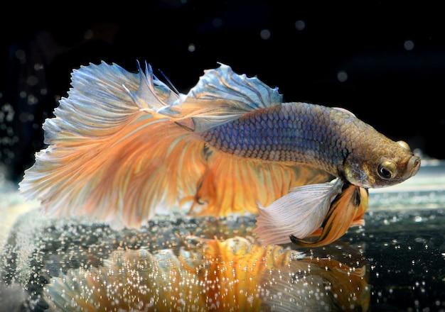 ベタサイメセの戦いの魚のカラフルな揺れ