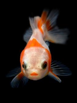Молодая золотая рыба в садке для рыбы.