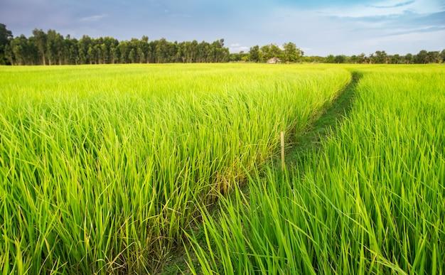 タイ農地の緑の水田。