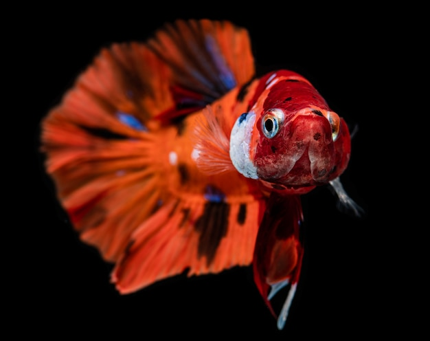 ファンシーニモベタまたはシャムの戦いの魚。
