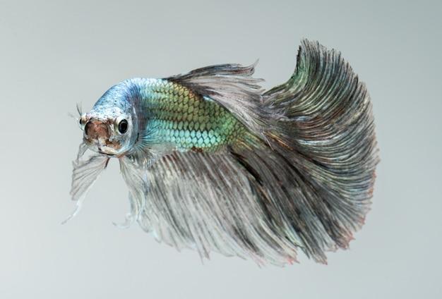銀色の黄金色のベタの魚。